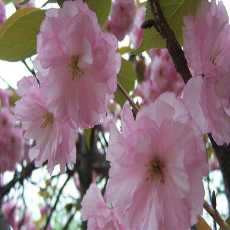 Natural dried wholesale Japanese flowering cherry seeds for planting