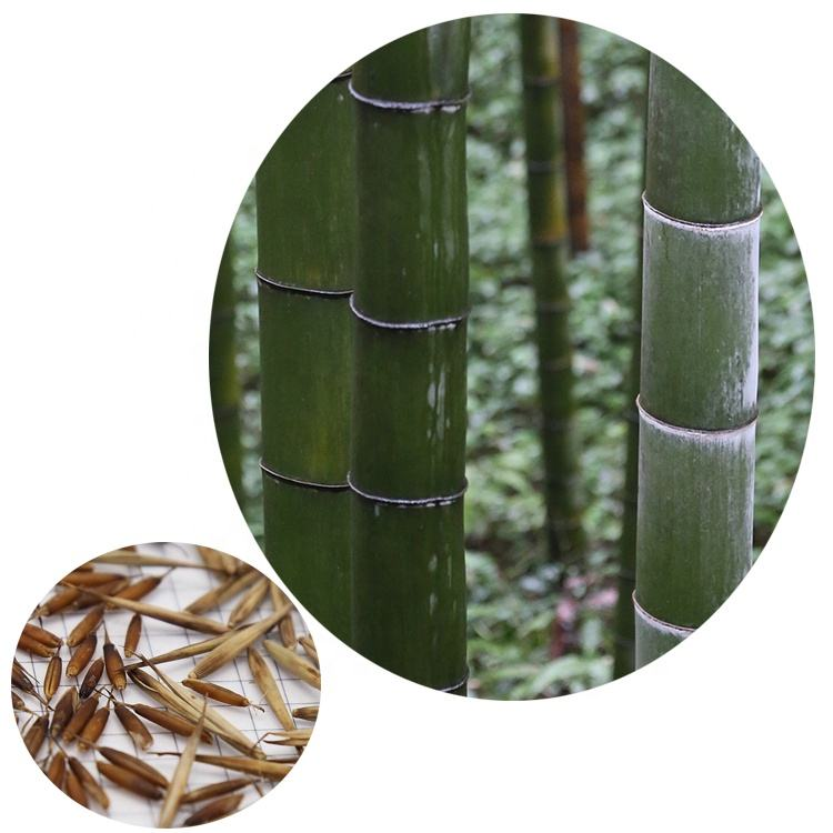 2019 fresh harvest giant hardy bamboo Phyllostachys edulis moso bamboo seeds