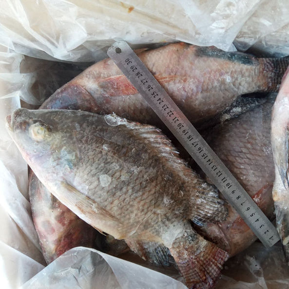 Frozen tilapia with professional technical support