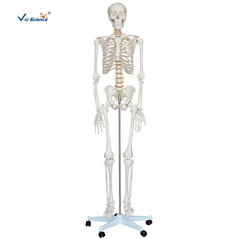 Human medical science 180cm tall life size skeleton anatomy model