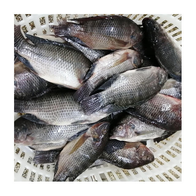 Tilapia Best Frozen Tilapia Fish Gutted & Scaled Tilapia Sea Fish Vacuum Pack Skinless Live And Big Fish