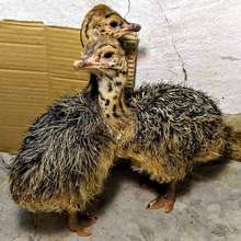 Live healthy Ostrich Chicks for sale / Red & black neck Ostrich chicks