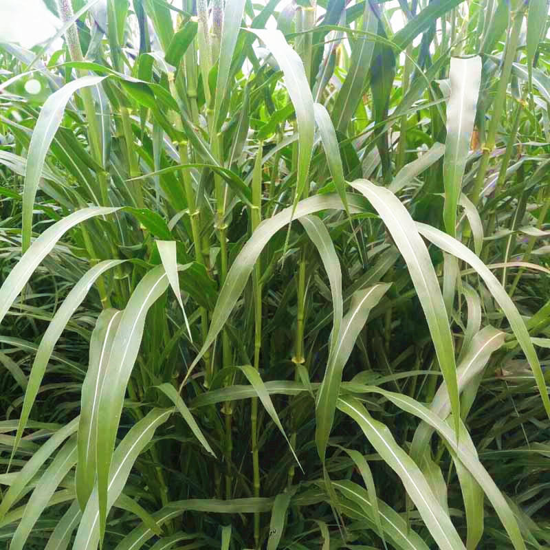 Well Selected Pasture Grass Seed Of Hybrid Napier Grass