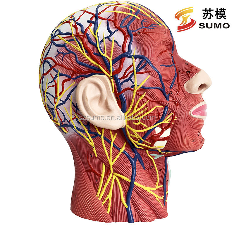 SUMO Life-Size Human Superficial Facial Muscle Nerve and Vessel Anatomical Model, Medical Science Anatomy Model