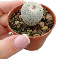 Epithelantha Best Indoor Deco Mini Real Cacti Live Cactus Succulent Plants for Sale or Planters or Gifts