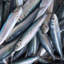 bait fish of new landing Herring Sardine frozen
