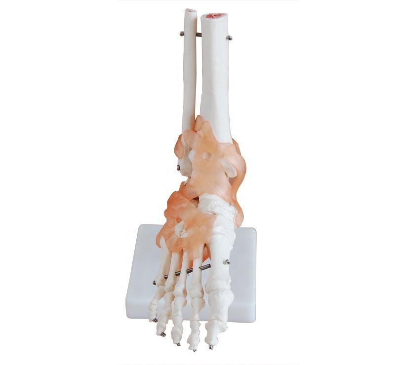 Human Life-Size foot Joint with ligaments PVC material school medical teaching training model BC1025-13A