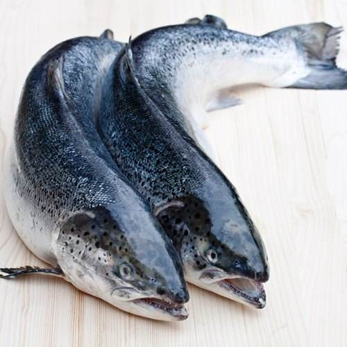 Norway Frozen Atlantic Salmon/Quantity/Bulks