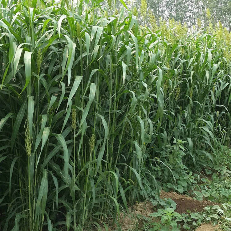 High germination rate grass seeds feed Sudan grass seeds for farm