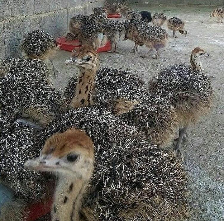 Healthy Ostrich Chicks /Red and Black neck Ostrich for sale/Live Ostrich Birds For Sale