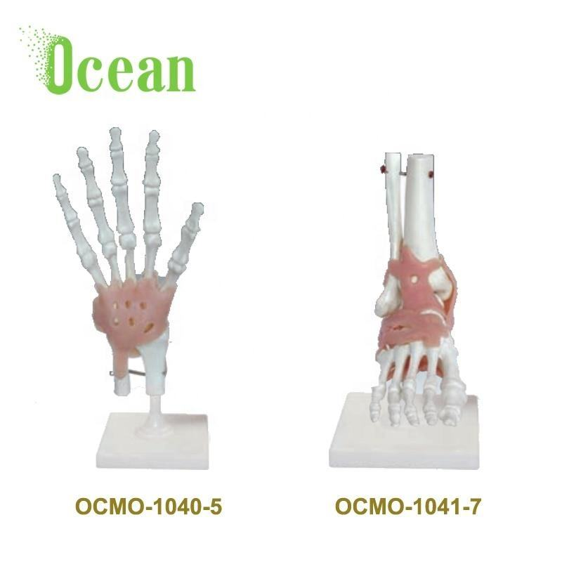 Skeleton model of human foot and hand Joint Skeleton Model with Ligaments