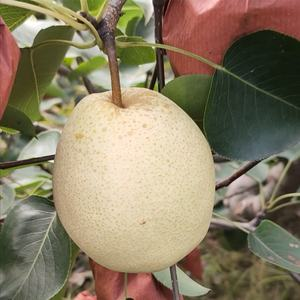 Top quality cheap price pears fresh fruit pear