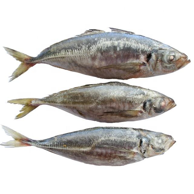 Frozen Horse Mackerel, Pacific Mackerel, Tuna, Trout, Bonito, Tilapia, Squid, Salmon fish