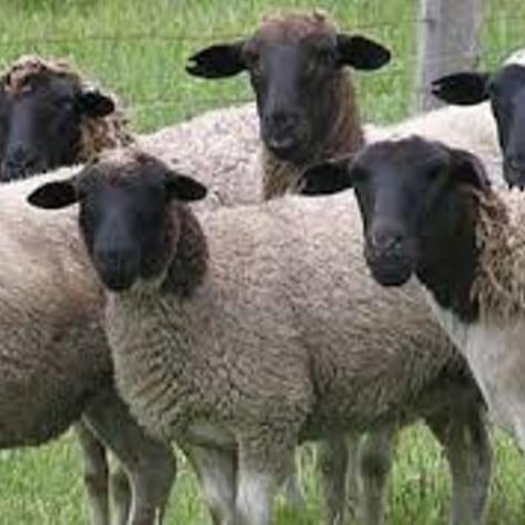 100% Pure Natural Live Sheep and Cattle Dorper Sheep