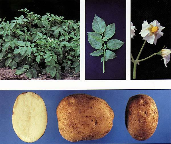 USA Bulk Potato Chip Stock Potatoes GAP Phyto Certificate 100% Non-GMO Snowden Potatoes