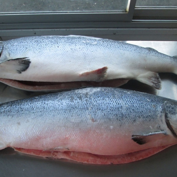 Fresh Salmon Fish - 100% Export Quality Salmon Fish
