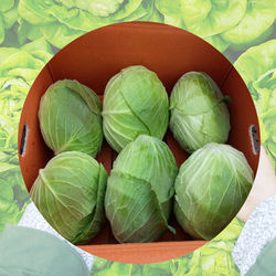 Korea Grown Vegetable Seowooha Cabbage Fresh Delicious High Fiber Naturally Sweet Healthy Veggies for family and Kid