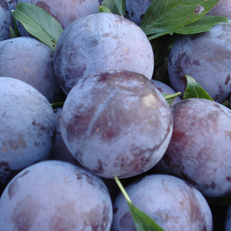 Quality Juicy Fresh / Dry Plums Now Available For Sale