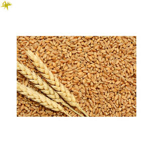 Affordable Price Bulk Selling Dried Wheat Grain for Universal Buyers