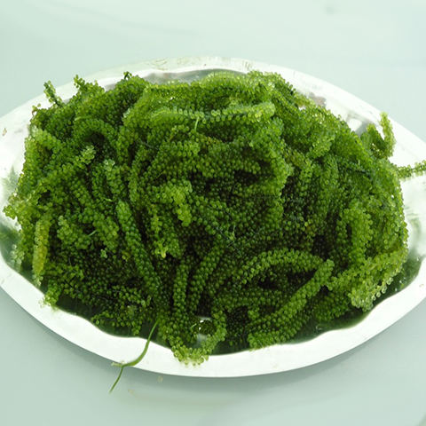 Vietnam green caviar sea grapes low price/ Mr. Porter +84_896 _612 _931
