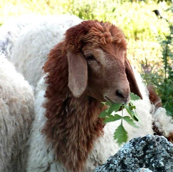 Live Awassi Sheep And Other Sheep Breeds