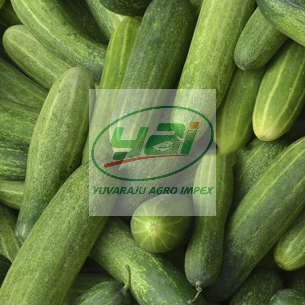 Fresh Vegetables Cucumber Best FOB Price List