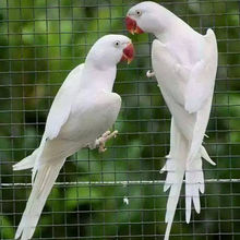 White, Blue, Green Ringneck/Live Ringneck birds for sale