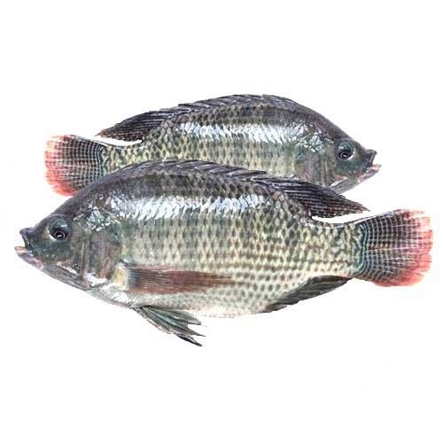 Good Prices Fish Seafood Frozen Red Tilapia
