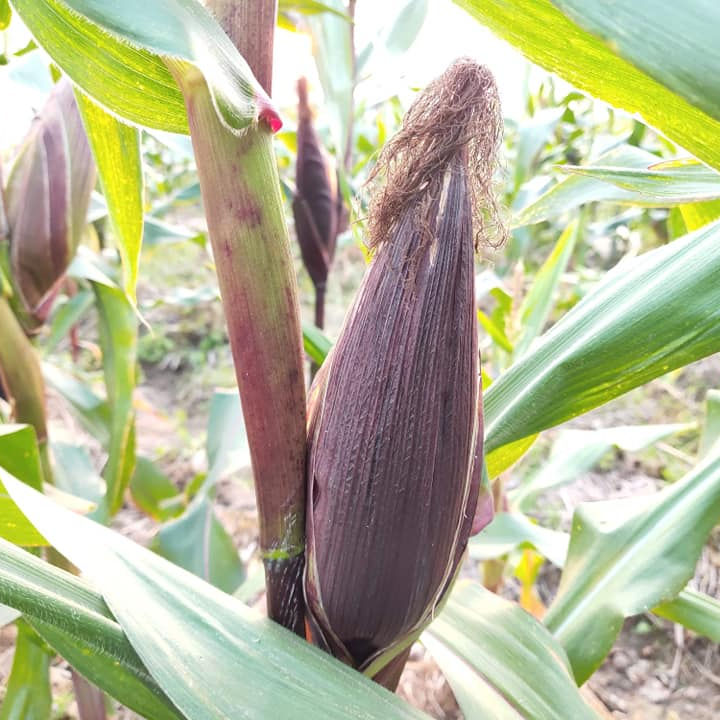 TOP SELLING Organic Special Purple Corn Fresh Frozen Corn Natural Sweet Taste (Competitive Price)- Ms. Akina +84 902803631