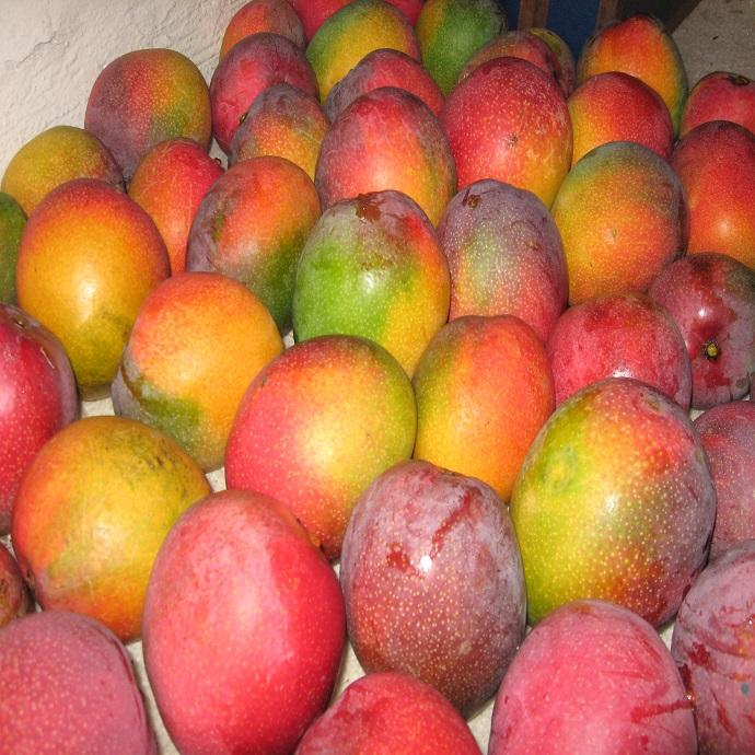 Good Quality and New Crop Fresh Mango From Farm