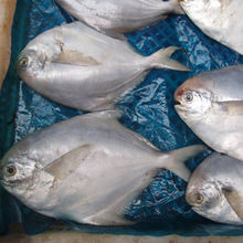 Whole Round Frozen White / Silver Pomfret Fish