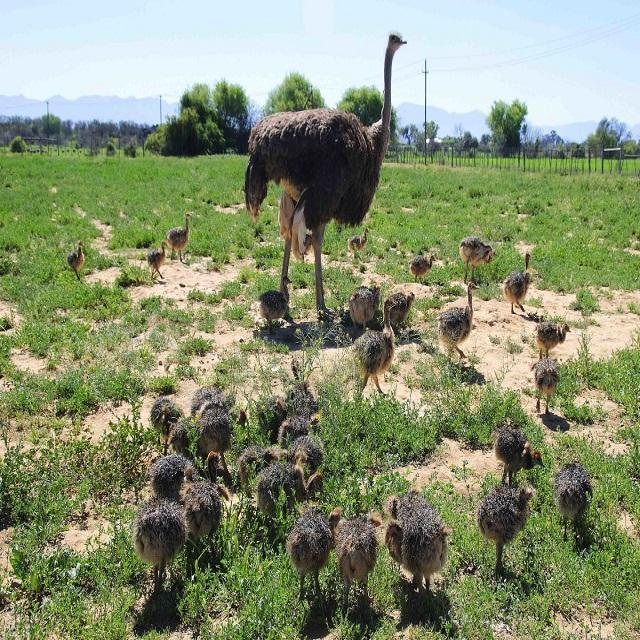 Ostrich Chicks , Fertilized Eggs,Red and Black neck Ostrich
