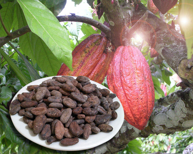 Top A Grade Sun Dried Cocoa Beans / Cacao/ Chocolate bean READY FOR EXPORT