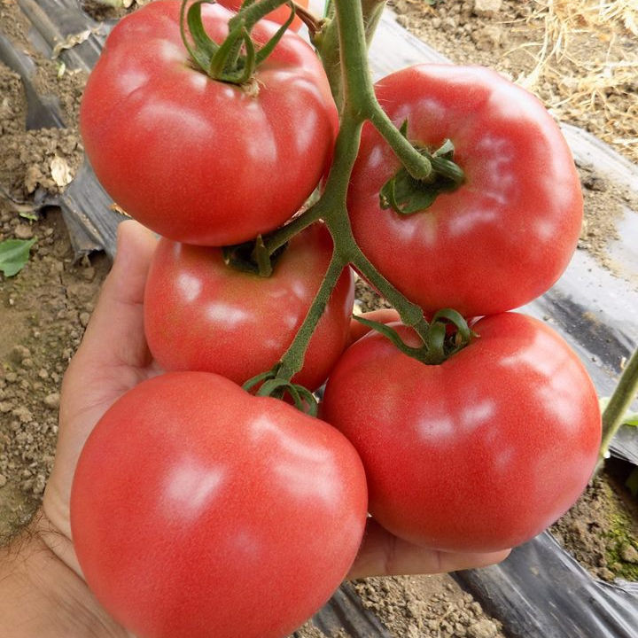 Best quality Fresh Tomato