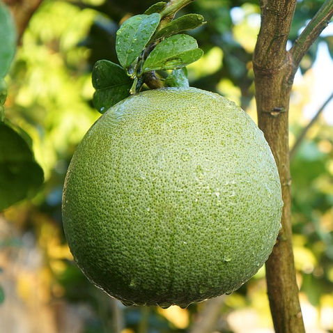 VIETNAM SWEET GREEN SKIN POMELO - HIGH QUALITY, GOOD PRICE