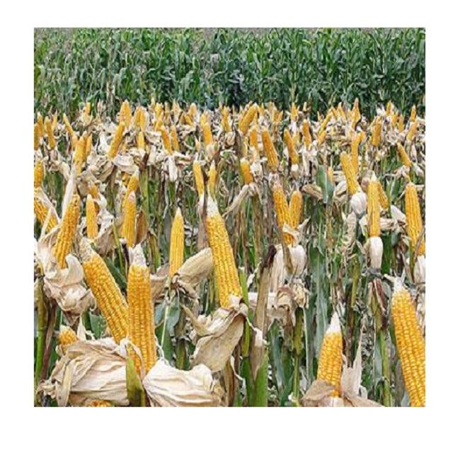 Yellow Corn for Wholesale with Best Price from Vietnam