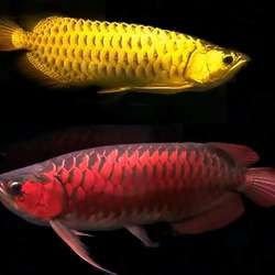 Bulk Arowana fish Wholesale dealer 100% Premium quality chea
