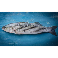 Pacifico Aquaculture Striped Bass Gilled and gutteda 3-5 lb.