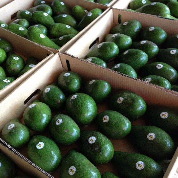 Fresh Avocado/ Hass Avocado/Premium Fresh Fuerte