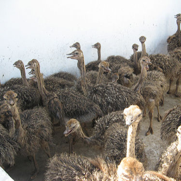 Ostrich Chicks /Red and Black neck Ostrich for sale/Live Ostrich Birds