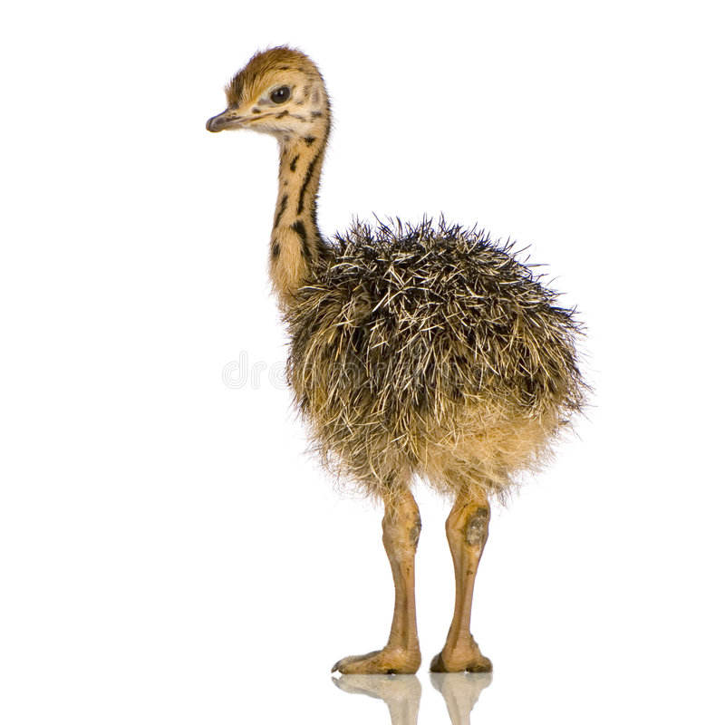 Live healthy Ostrich Chicks for sale