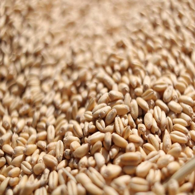 Wheat High Quality Natural Whole Wheat Grain Dried Style Wheat for Soft Bread Making