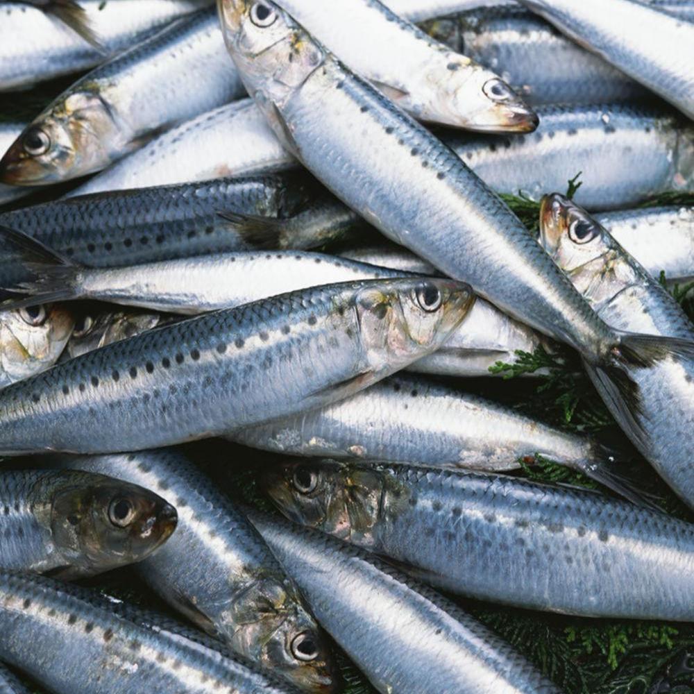 BQF Whole Round Purse Seine Seafood Frozen Bait Price Sardine Fish