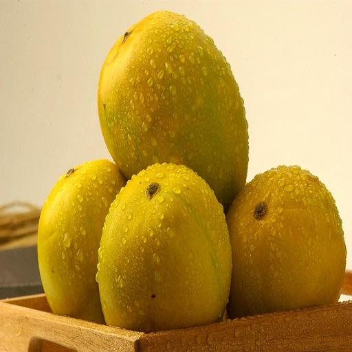 Top quality fresh Alphonso Mangoes for export