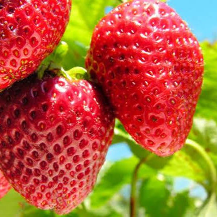 High Quality Fresh Natural Strawberry