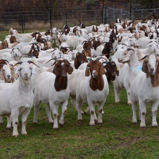 100% Full Blood Boer Goats Live Sheep Cattle Lambs and Cows for sale