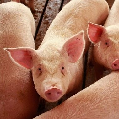 Live Pigs/ Pregnant Live Pigs /Alive / Live Pigs for sale