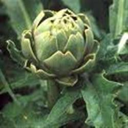 fresh ARTICHOKE WITH TOP GRADE FOR SALE