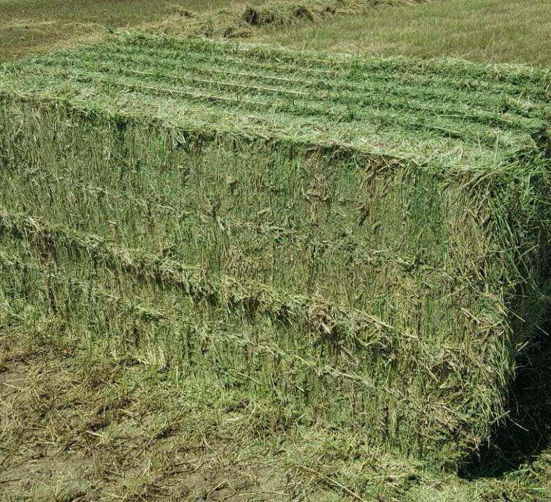 hot selling Premium quality Alfalfa hay Green and Fresh