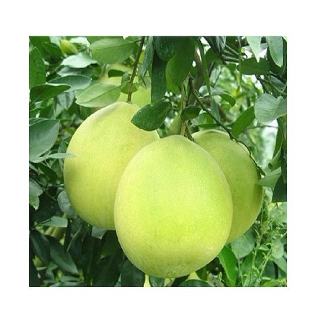 POMELO FRUITS FROM VIETNAM - Fresh Grapefruit export to EU, USA, Japan, Korea, China, etc - High quality Fresh Citrus Fruit